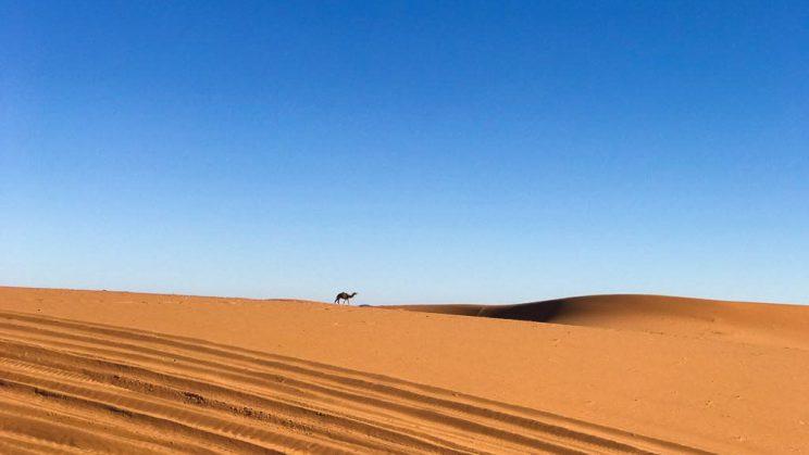 Camelo no Deserto de Marrocos