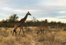 Safari Roteiro para África do Sul