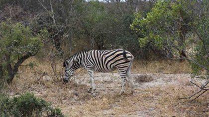 zebra-safari-klaserie