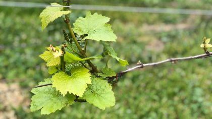 vinicola-organica-emiliana